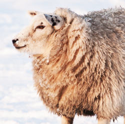 Sheep in Snow Protected by Wool and Lanolin