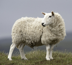Sheep Standing in Cold Mountain Field (Typical Lanolin Producer)